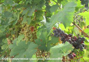 Виноград. Камышин. Осень. Два сорта